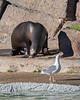 Hmmmm, I think I smell a seagull!  (California Sea Lion, Henry)