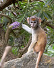 4.  Pitoey!  Out comes the green part.<br /> (Patas Monkey)