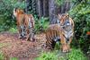 Back to back:  Leanne (rear) and Jillian (front).  Sumatran Tigers
