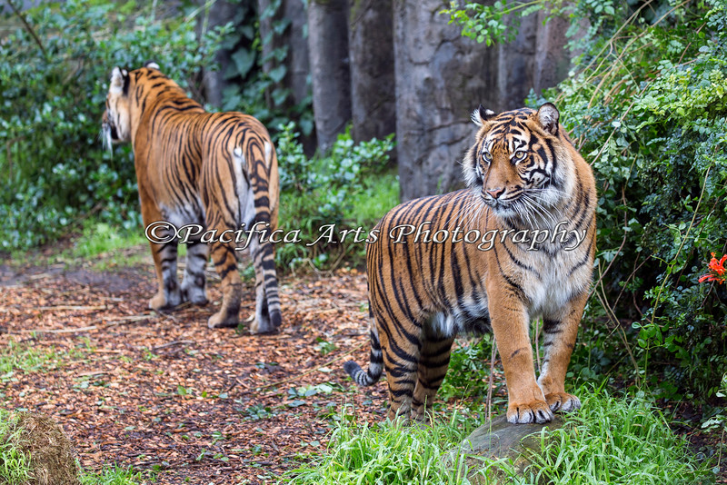 Back to back:  Leanne (rear) and Jillian (front).  Sumatran Tigers