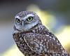 Nigel, a Burrowing Owl, at the Koret Animal Resource Center.