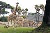 Barbro stolls, while daughter Ingrid races around the yard.  (Reticulated Giraffe)