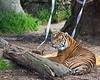 Leanne (Sumatran Tiger)