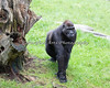 Hasani strutting around the Gorilla yard.  (Western Lowland Gorilla)