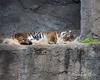 Nap time, while keeping one eye open. (Sumatran Tiger, Leanne)