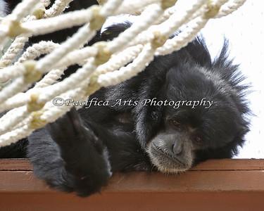Siamang napping under the hammock.