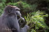 Female Western Lowland Gorilla, Bawang, munching on acacia leaves.