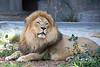 African Lion, Jahari
