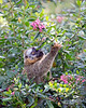 One of the Red-fronted Brown Lemurs searching for blossoms to nibble on.