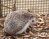 And this is what a Hedgehog's tongue looks like! :)