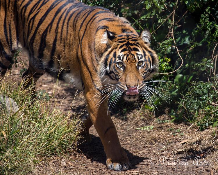 Jillian!  (Sumatran Tiger)