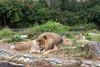 Sukari and Jahari having a tête-à-tête.  (African Lions)