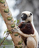 Those leaves must taste mighty good!  (Coquerel's Sifaka)