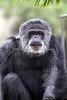 Here's Cobby!  (Chimpanzee)