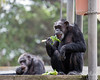 Munch, munch, munch!  <br /> (Chimpanzees, Maggie up front, and Minnie in the background)