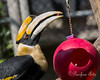 Hercules has found something tasty in his enrichment ball!<br /> (Great Indian Hornbill)