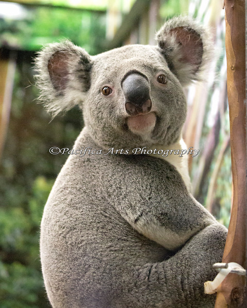"Koala, ""Austin"""