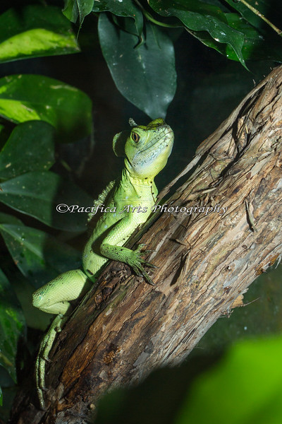 A young Plumed Basilisk in the South American Tropical Rainforest & Aviary