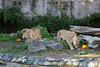 Jahari, Jasiri & Sukari, on the hunt for the treats.  (African Lions)