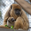 Black Howler Monkey, Lincecum, and her new baby.