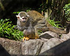 Male Squirrel Monkey