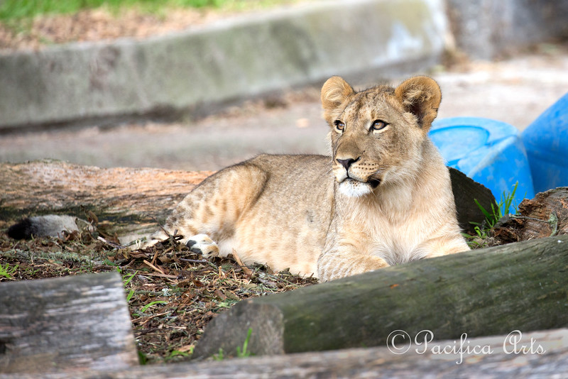 Beautiful Jasiri.  (African Lion cub)