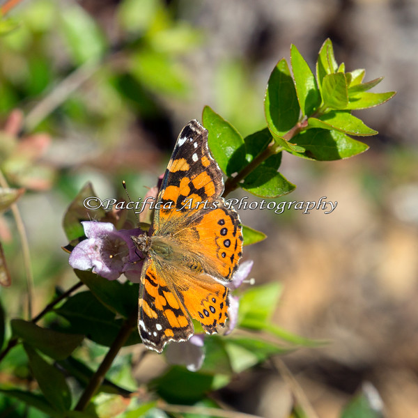 Painted Lady Butterfly (wild)