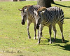 Buddies on the African Savannah..  (Grant's Zebras)