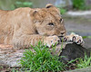 Cubby sharpens his claws just like mom, Sukari! <br /> (African Lion cub, about 6 months old)