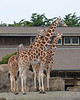 Reticulated Giraffes, Ingrid, Bititi, Barbro and Bobby