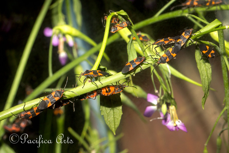 Just a few of the Milkweed Bugs at the Insect Zoo.