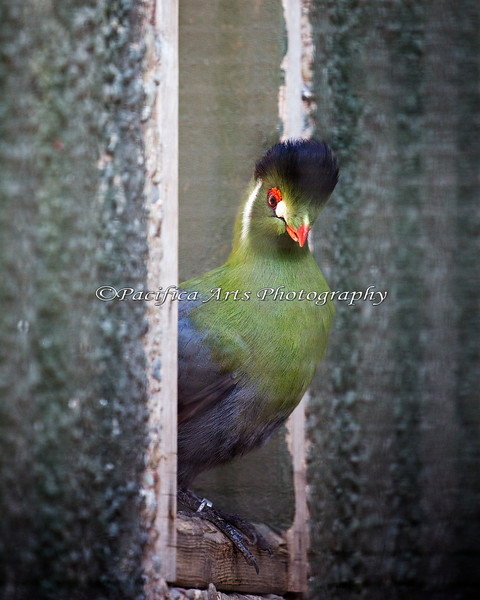 The elegant and friendly Zabibu (White-cheeked Turaco)