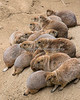 When everyone wants to be on the same mound....<br /> (Black-taile Prairie Dogs)