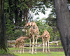 """Opportunist""  While Barbro nurses little Ingrid (left), Bobby (on the right) decides that he'd like some free lunch also!  (Reticulated Giraffe)"