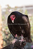 Turkey Vulture, Monty.  He can usually be seen in one of the free-flight aviaries at the ARC