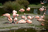 A flock of Chilean Flamingos.