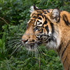 """""""Miss Whiskers""""  <br /> (Sumatran Tiger, Jillian)<br /> I touched one of the Sumatran Tiger whiskers that the Keeper had, and it had the feel and texture of a long thin piece of plastic.  They're really stiff!"""
