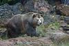 Grizzly Bear, Kachina