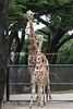 Here's Bobby (about 1-1/2 years old now) with his full grown dad, Floyd.  (Reticulated Giraffe)