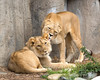 """""""Wait, Dear - I see a hair out of place!""""  <br /> (African Lions, Sukari & her son, Jasiri)"""
