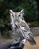 Screech Owl, from the Zoo's Animal Resource Center.