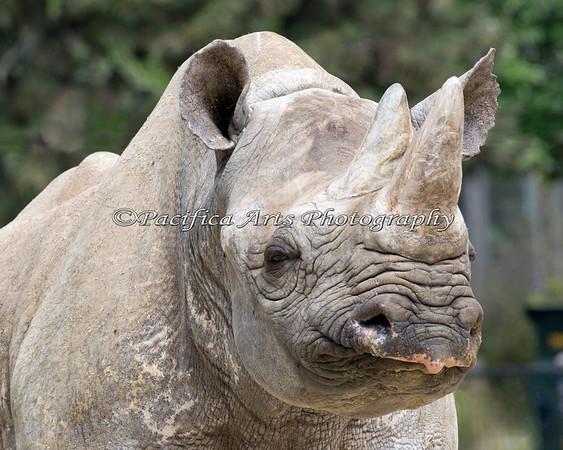 Black Rhinoceros, Elly