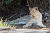 African Lion cub, Jasiri.  He is growing so fast!