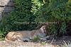 Lion smiles!  (African Lion cub, Jasiri)