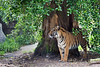 Sumatran Tiger, Jillian, under her favorite tree.