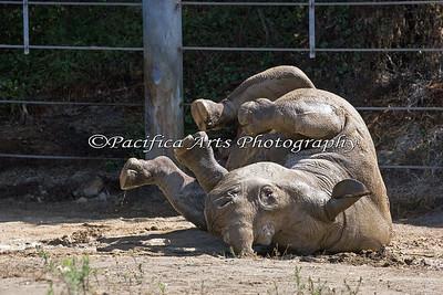 Boone's mud bath.  It looks like he's doing a thorough job of it!  :D (Black Rhinoceros)