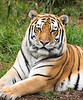 Stunningly beautiful J.T.!  <br /> (Siberian Tiger)
