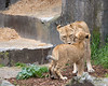 Mom, Sukari and her 6 month old cub.  (African Lions)