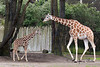 Reticulated Giraffes, Ingrid and her mom, Barbro.