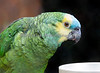 Maya, a Blue Fronted Amazon